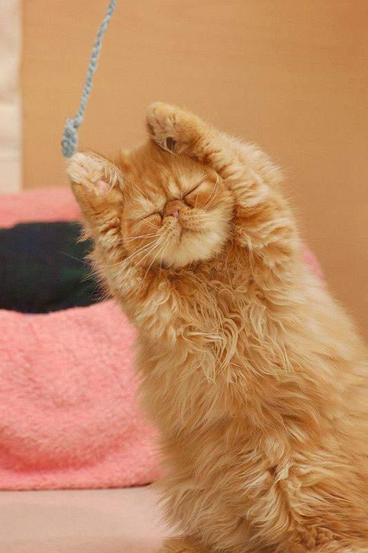 毛糸を一生懸命掴もうとする子猫。完全に目つぶっちゃってます。