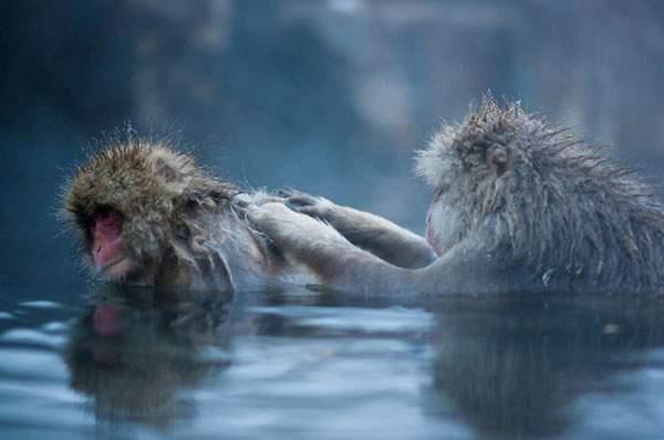 温泉を楽しむニホンザル達 - 04