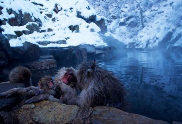 温泉を楽しむニホンザル達 - 06
