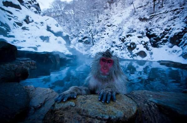 温泉を楽しむニホンザル達 - 08
