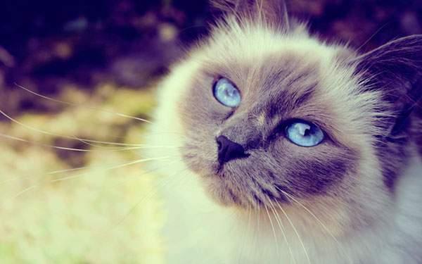 紫の色調が美しいシャム猫の写真