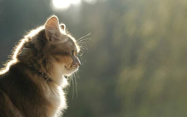 柔らかい光をうけて毛並みが輝く猫の写真