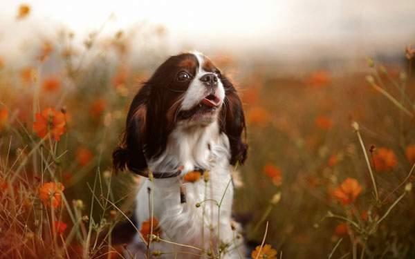 オレンジのお花畑の中の犬