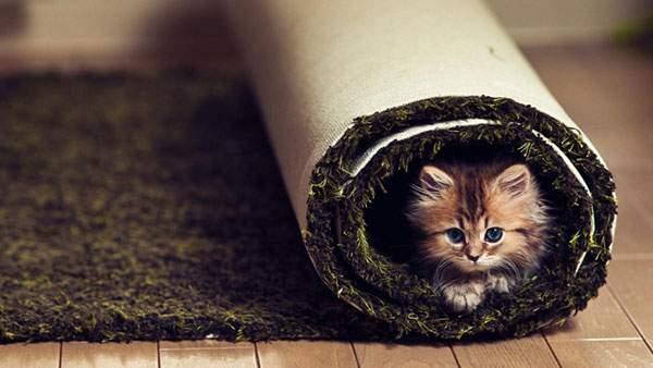 カーペットにくるまった子猫