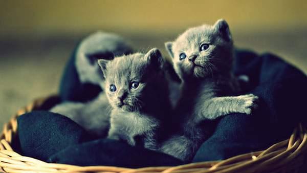 カゴのベッドの上の二匹の子猫