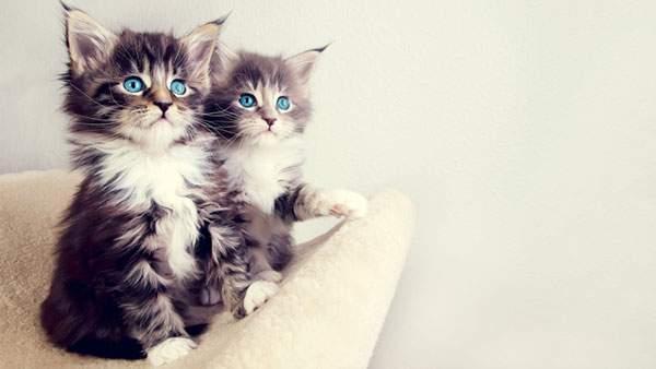 ふわふわの毛の二匹の猫