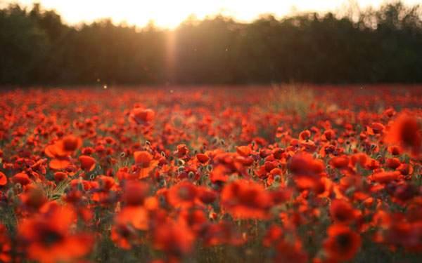 一面真っ赤な花畑と夕日