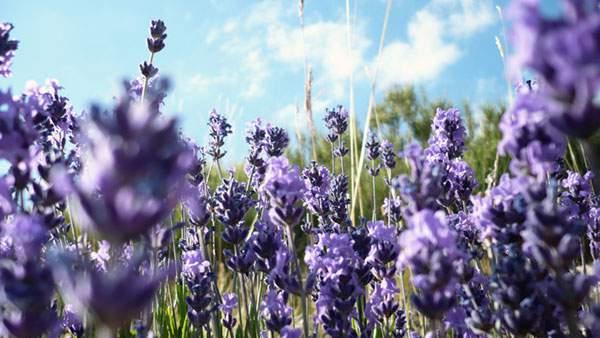 サルビアの花畑と青空