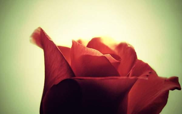 逆光で透き通ったバラの花