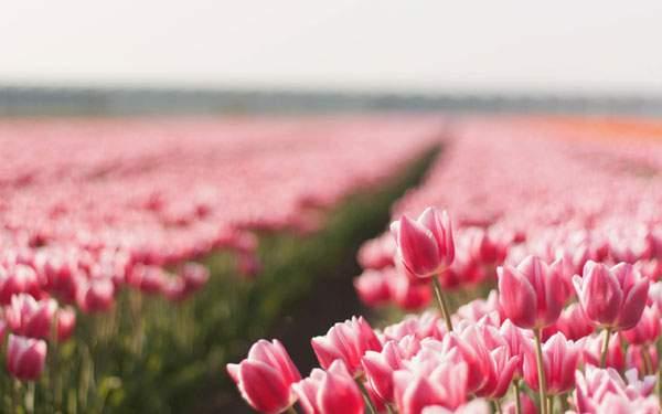 ピンクのチューリップ畑