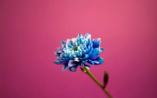 シンプルな単色背景の青い花