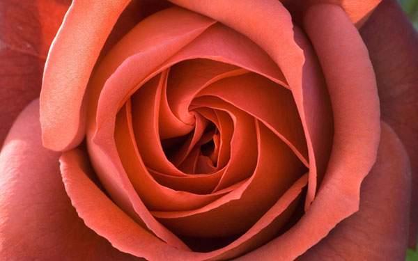 アップで撮影したバラの花