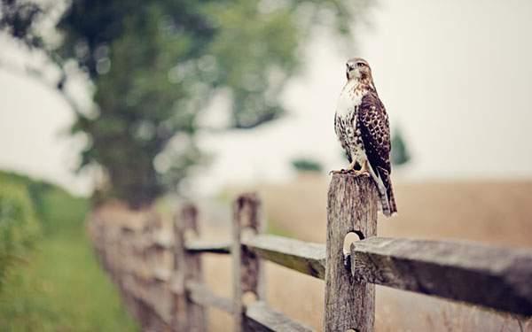 柵にとまった鷹