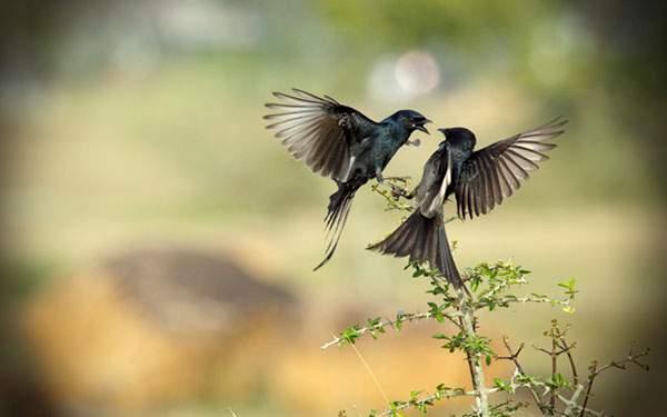 縄張り争いをする2匹の鳥