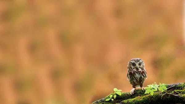丸い目のフクロウ