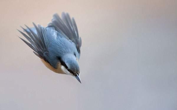 翼をたたんで急降下する鳥の写真