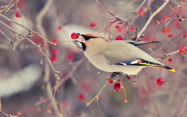 赤い実を食べる鳥