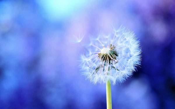 綺麗なブルーのタンポポの綿毛の写真