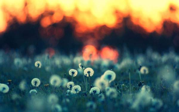 夕日とタンポポの綿毛達