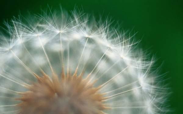アップで撮影したタンポポの綿毛