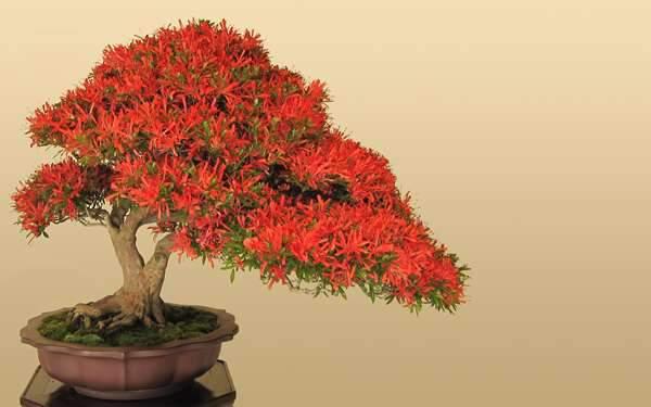 美しい赤色の盆栽