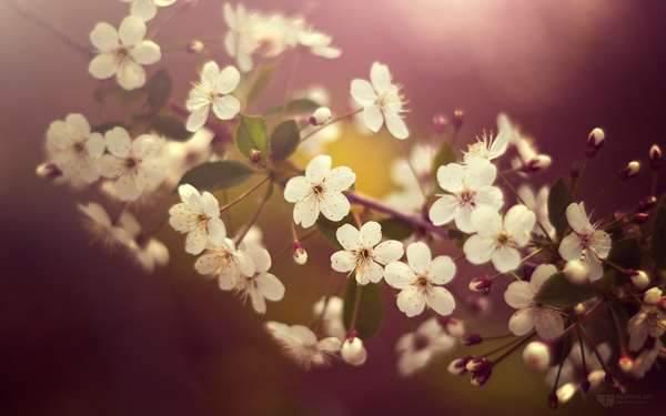 ボケが美しい桜の花びらの写真