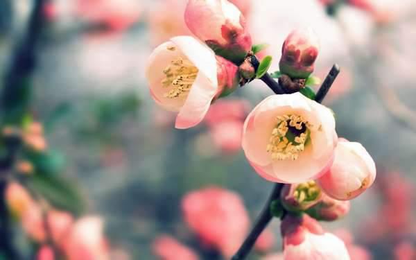 開き始めたさくらの花とツボミ