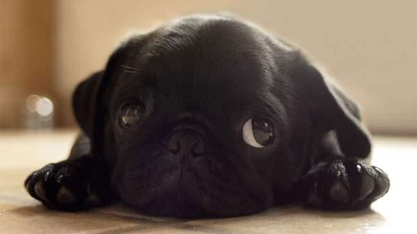 上目遣いがカワイイ黒いパグ犬