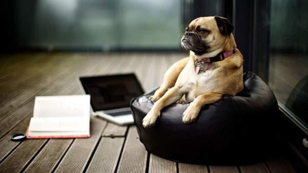 クッションの上に座ったパグ犬
