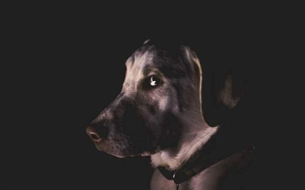 シンプルな黒背景のクールな犬の写真