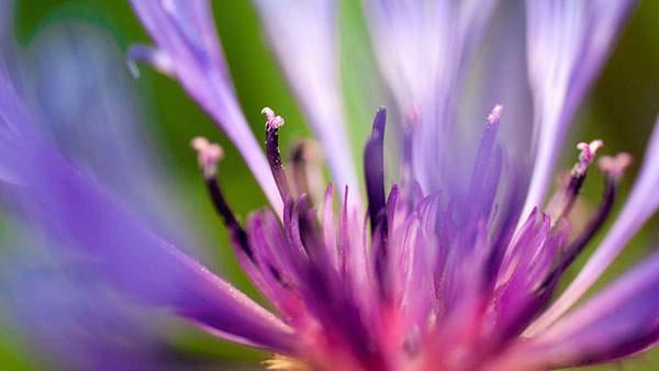 おしべ・めしべにピントを合わせた紫の花