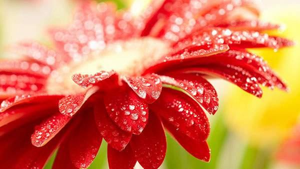 雨粒がキラキラと光る赤い花の写真