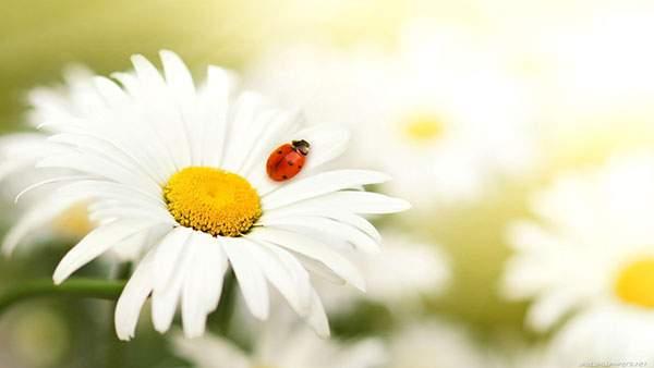 白い花の上のてんとう虫