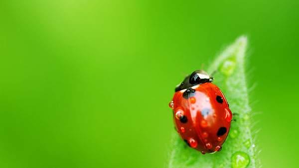 雫と緑の葉と赤いてんとう虫