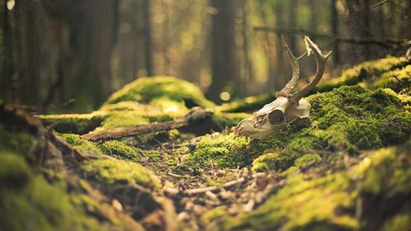 森に落ちている鹿の頭蓋骨