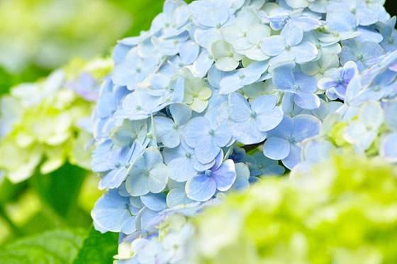 淡いブルーが綺麗な紫陽花の写真素材