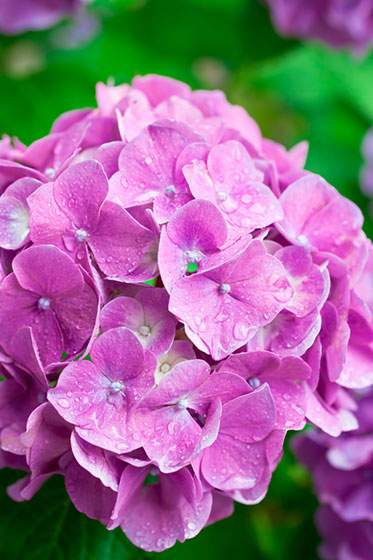赤紫色をした雨に濡れた紫陽花の写真