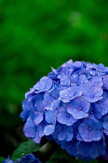 鮮やかな青紫のあじさいの花の画像