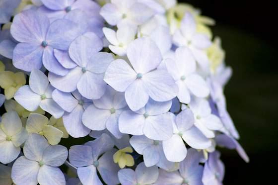 淡い紫色が綺麗なアジサイの花の写真