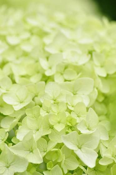 薄いのグリーンのアナベル(西洋の紫陽花)