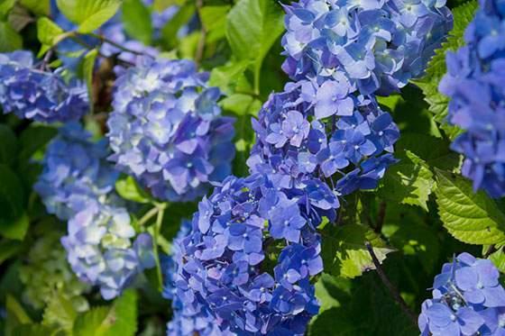 青紫のあじさいが緑の葉に映える綺麗な写真
