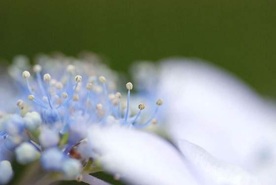紫陽花の雄しべをマクロ撮影したかわいい写真