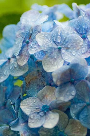 雨粒がきらきらと光る紫陽花の花びら