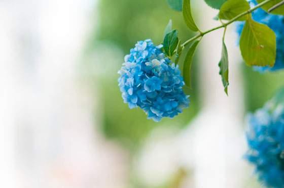 爽やかなブルーの紫陽花の花の写真