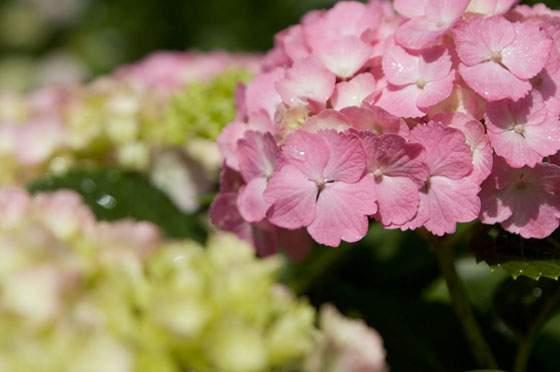かわいいピンク色のあじさいの花