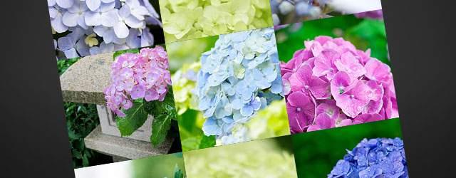 フリー写真素材:梅雨デザインに使える紫陽花の画像まとめ(紫・青・ピンク)