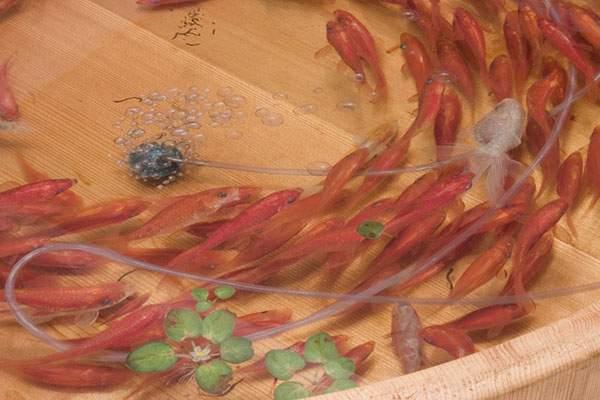 絵具と樹脂を組み合わせて描く立体的な金魚 - 02