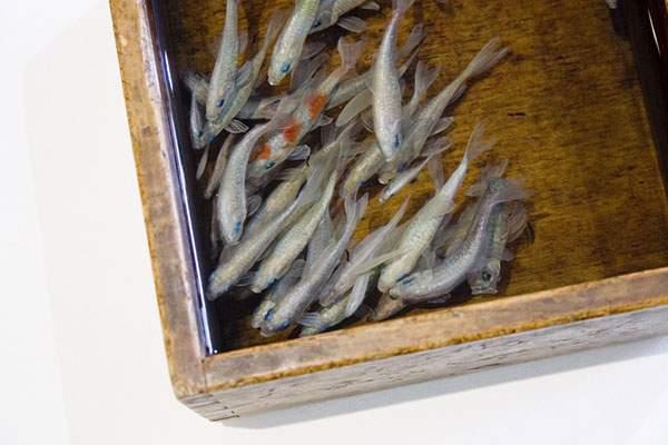 絵具と樹脂を組み合わせて描く立体的な金魚 - 04