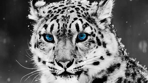 青い目をした雪の中の虎の壁紙画像