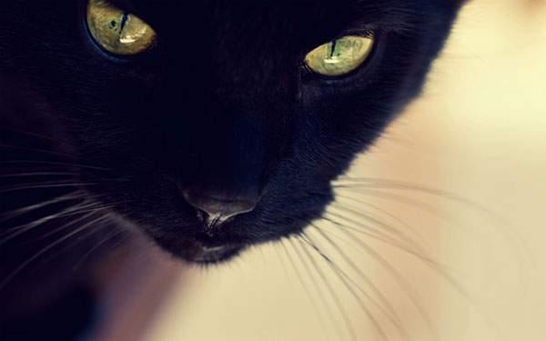 キリっとした表情でカメラを睨みつける黒猫